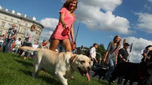 Parada labradorów: udało się pobić rekord sprzed roku