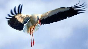 Koniec zimowania. Ptaki migrują do swoich gniazd