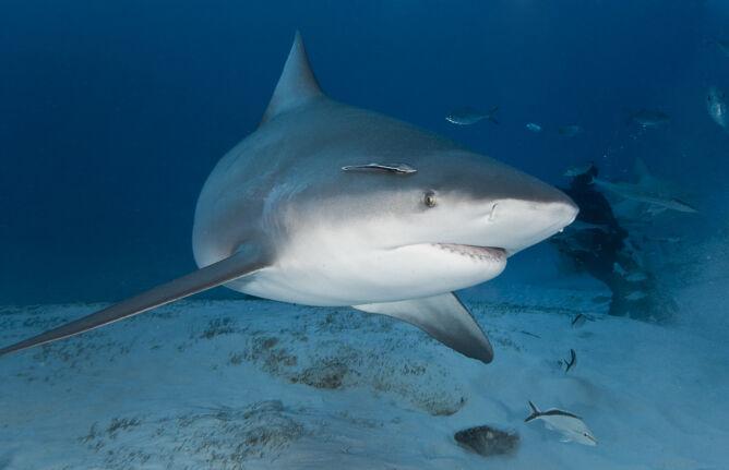 Żarłacz tępogłowy (Shutterstock)