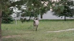 Zebra spacerowała między blokami na Słowacji